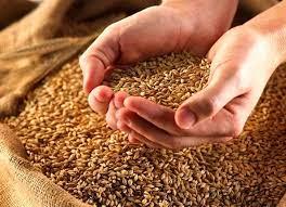 واریز وجوه گندم خریداری شده دولت به حساب کشاورزان
