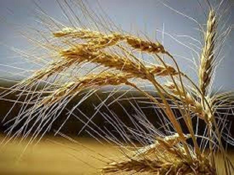 تامین ۱۰۰ درصد بذر مورد نیاز استان زنجان